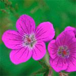 Midsommarblomster - Geranium sylvaticum L.