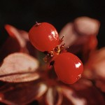 Hönsbär - Cornus suecica L.