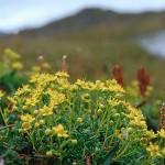 Gullbräcka - Saxifraga aizoides L.