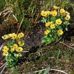 Fjällsmörblomma - Ranunculus nivalis L.