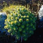 Rosenrot - Rhodiola rosea L.