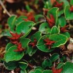 Dvärgvide - Salix herbacea L.
