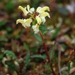Lappspira - Pedicularis lapponica L.