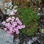 Fjällglim - Silene acaulis (L.) Jacq.