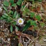 Fjällbinka - Erigeron uniflorus L.