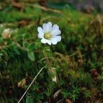 Fjällarv - Cerastium alpinum L.