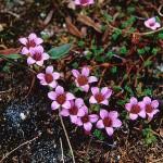 Purpurbräcka - Saxifraga oppositifolia L.