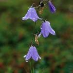 Liten blåklocka - Campanula rotundifolia L.