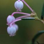 Rosling - Andromeda polifolia