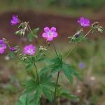 Midsommarblomster - Geranium sylvaticum