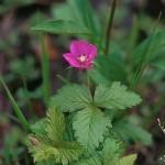 Åkerbär - Rubus arcticus