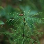 Skogsfräken - Equisetum sylvaticum