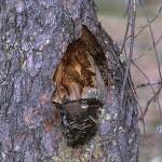 Grå flugsnappare - Muscicapa striata
