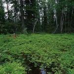 ekbräken - gymnocarpium dryopteris