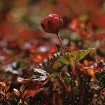 Hjortron - Rubus chamaemorus