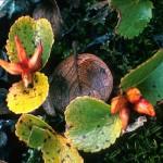 Dvärgvide - Salix herbacea L