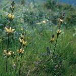 Kung Karls spira - Pedicularis sceptrum-carolinum L.