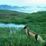 Fjällräv - Alopex lagopus